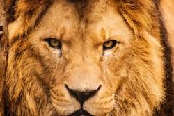 Els lleons