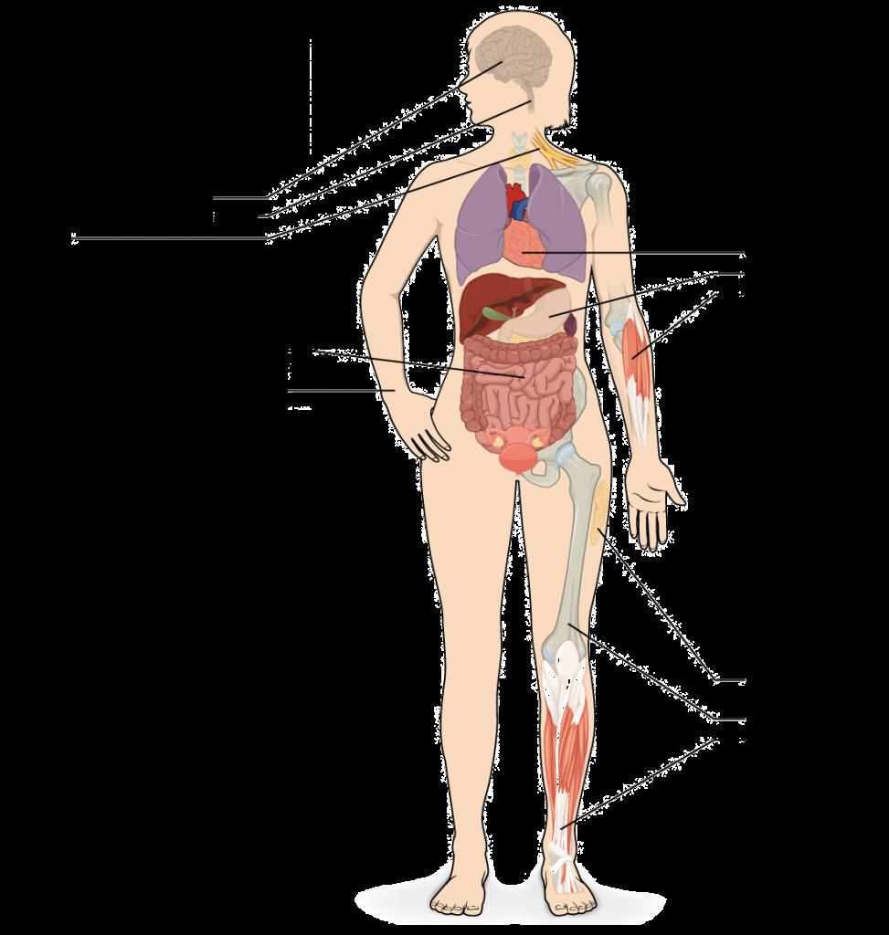 el cuerpo humano II
