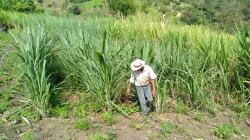 Producción de miel de caña y panela orgánica