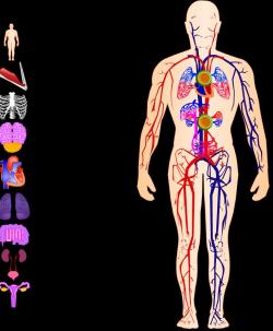 Los sistemas del cuerpo humano