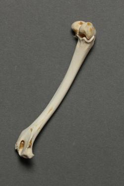 anatomia del femur