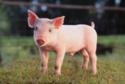 proyecto de cerdos